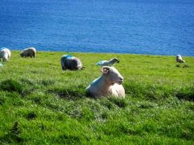 Les moutons de la péninsule de Dingle