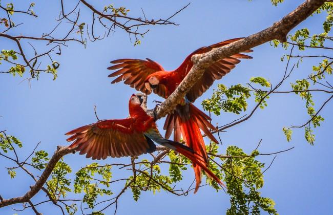Aras rouges dans le Pacifique Sud