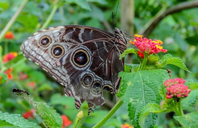 Papillon Volcan Poas