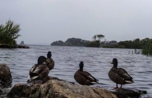 Canards qui regardent au large