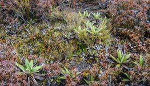 La végétation du Tongariro