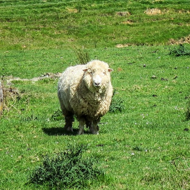 Mouton, Nouvelle-Zélande