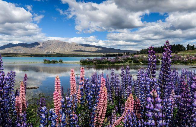 Lupins sur le lac Tekapo