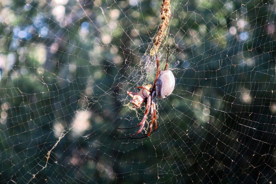 Une grosse araignée