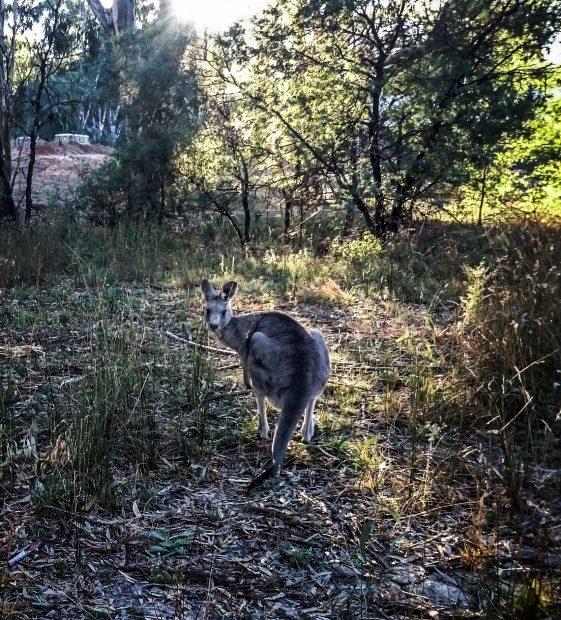 Kangourou dans la lumière du matin