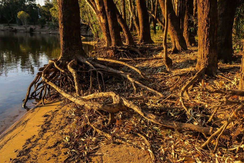 Racines des arbres de Tocumwal