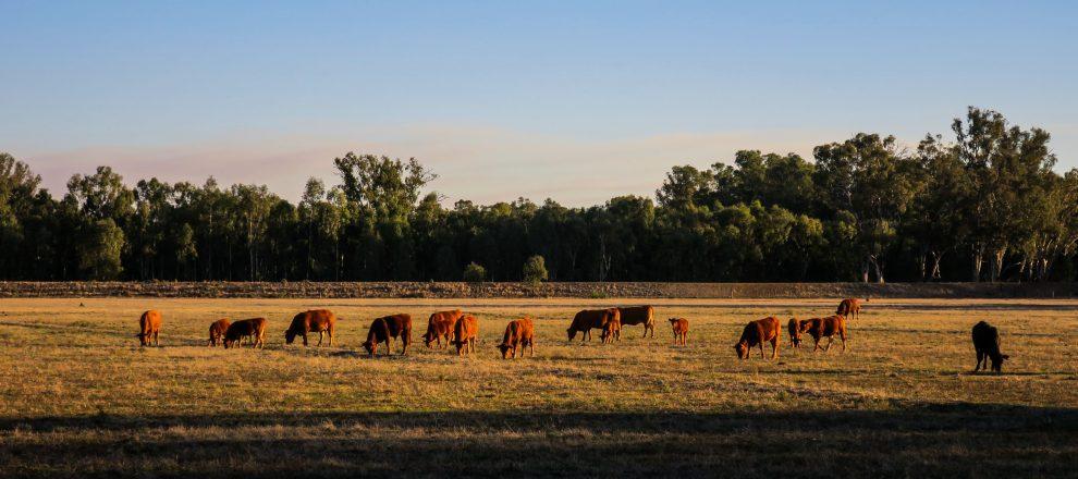 Vaches en Australie