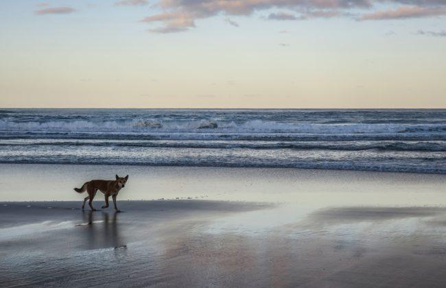 Un dingo à Fraser Island