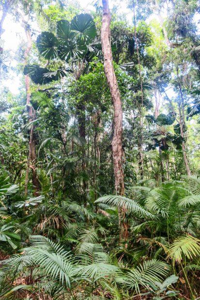 Forêt tropicale à Cairns