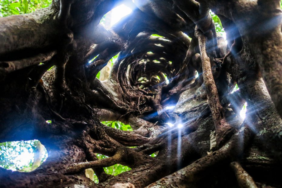 Racine d'arbre, Cairns