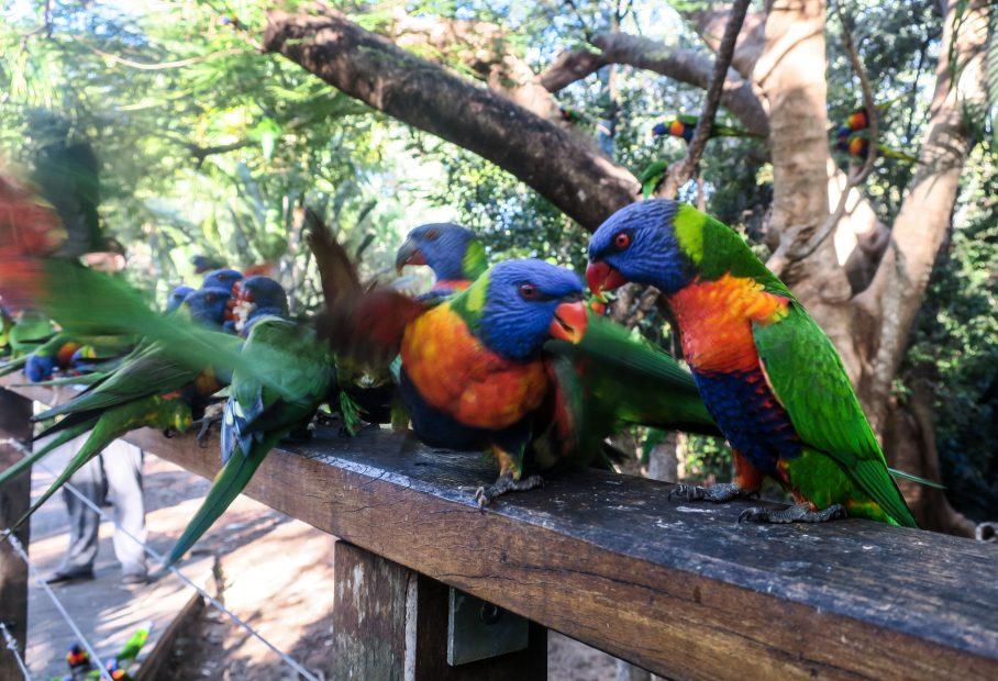 Perroquets à Magnetic Island