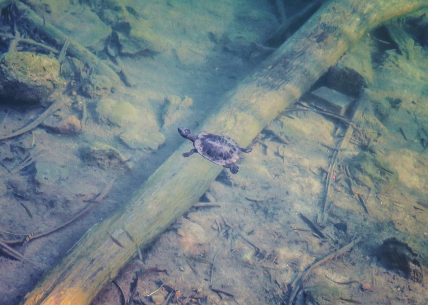 Petite tortue d'eau douce