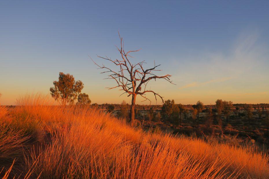Un arbre près d'Uluru