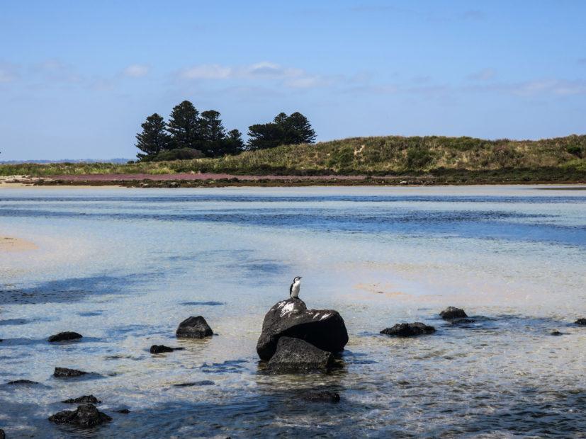 Oiseau, Port Fairy
