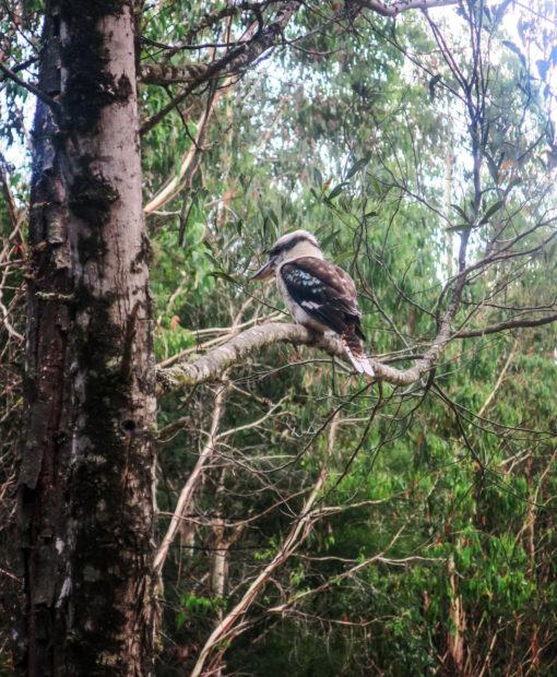 Kookaburra, faune australienne