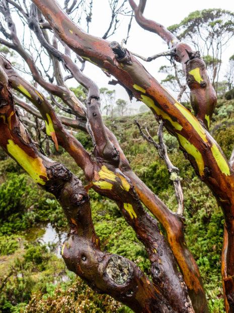 Eucalyptus sur l'Overland Track