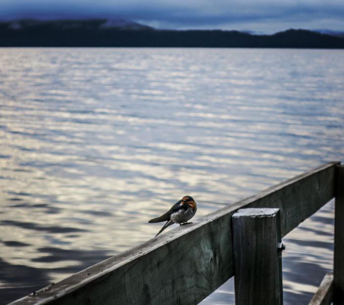 Petit oiseau, Tasmanie