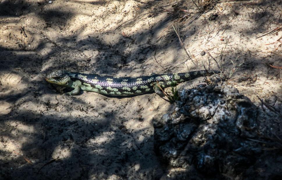 Reptile en Tasmanie