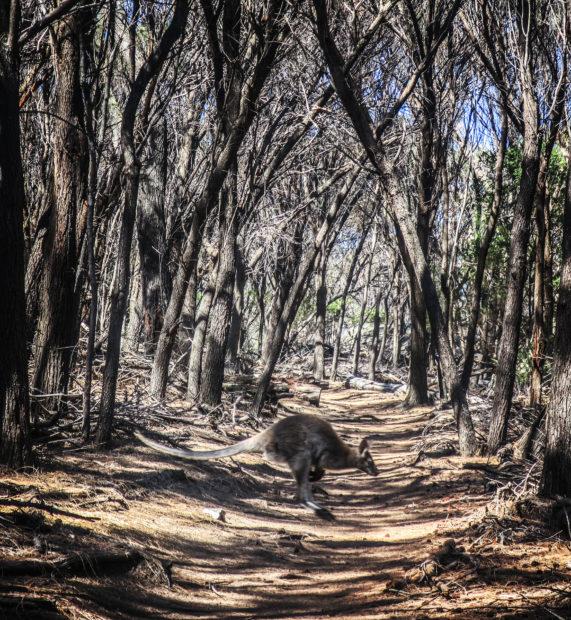Tasmanie, kangourou