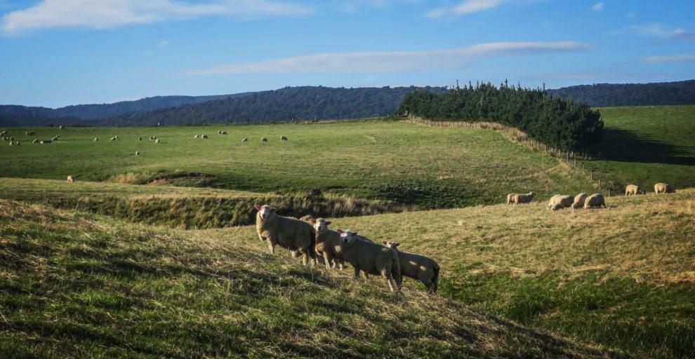 Moutons de Nouvelle-Zélande