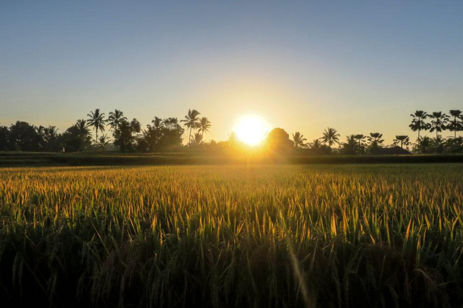 Les rizières au levé du soleil