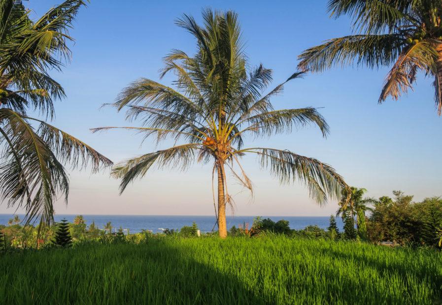 Palmier, Bali