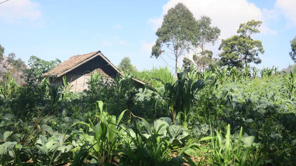 Plantations à Cemoro Lawang