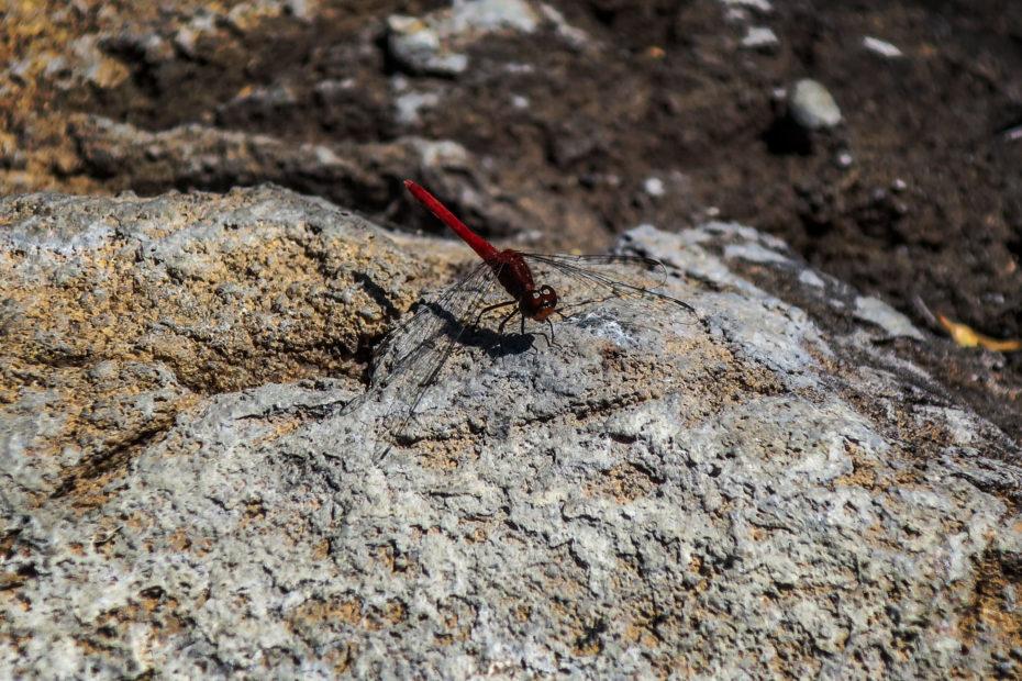 Libellule rouge sur le Jatbula Trail